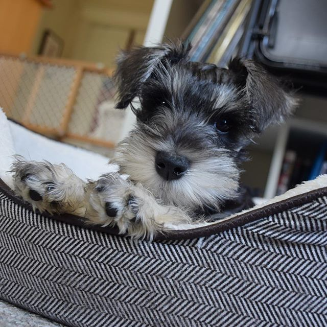 Discovered a folder of Uma puppy pictures. It's too much! ❤️ . . . #toomuch #schnauzer #minischnauzer #puppylove
