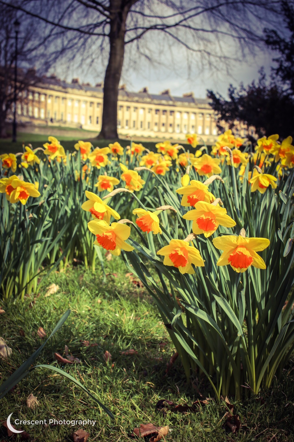 The Royal Crescent, daffodils