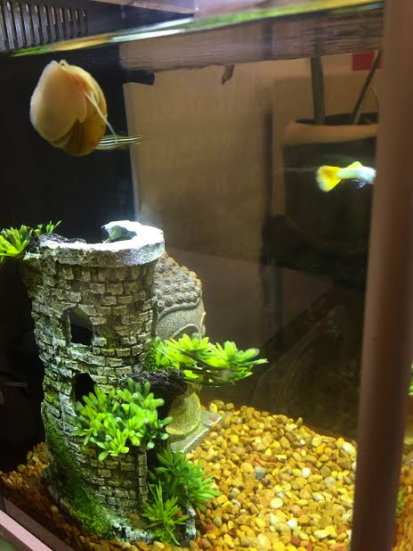 Our clean fish tank, thanks to Mikey the snail!
