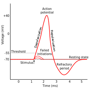 """Action potential"" by Original by en:User:Chris 73, updated by en:User:Diberri, converted to SVG by tiZom - Own work. Licensed under CC BY-SA 3.0 via Wikimedia Commons"