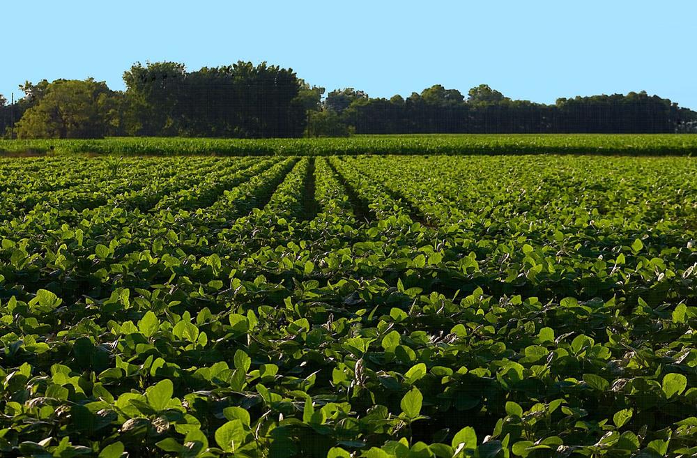 An Arkansas soybean field. Photo: Flickr Creative Commons