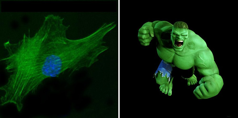 Are glowing muscle cells the reason for the Hulk's green color? (image credit to  Dr. Alfredo Franco-Obregón  ETH-Zurich)