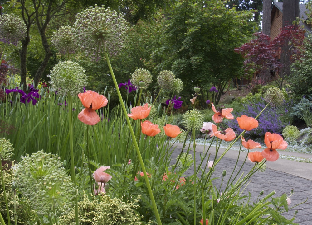 Poppies and Allium brighten the garden in spring, then quietly go dormant, allowing warm weather plants to take center stage.