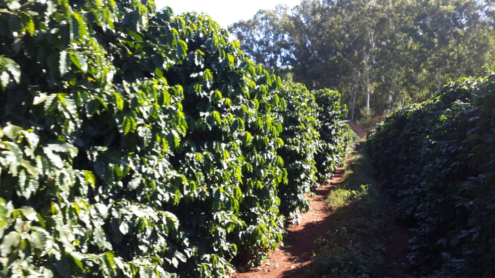 Coffee Rows