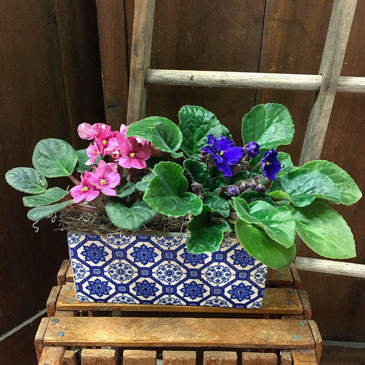 Double Violets in Blue Tile