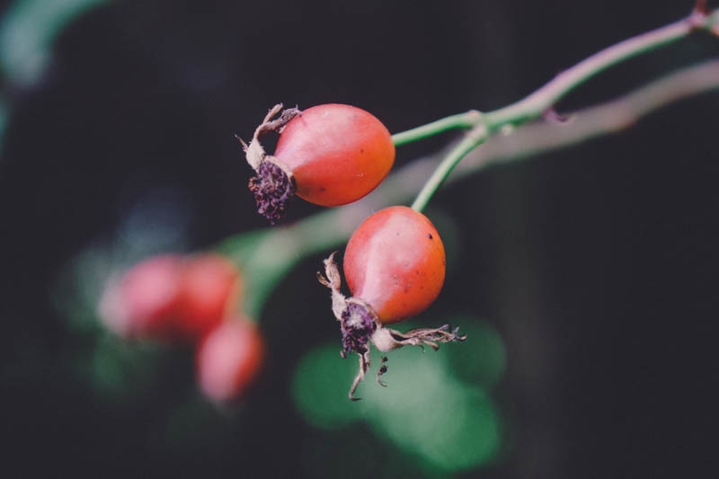 Rose Hips in the Hedgerow