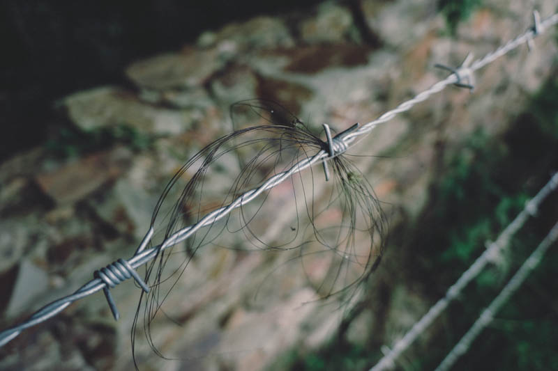 Wiry cow hair on barbed wire