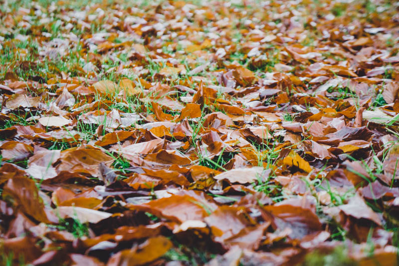 Carpet of Beech leaves - must get the rake out!