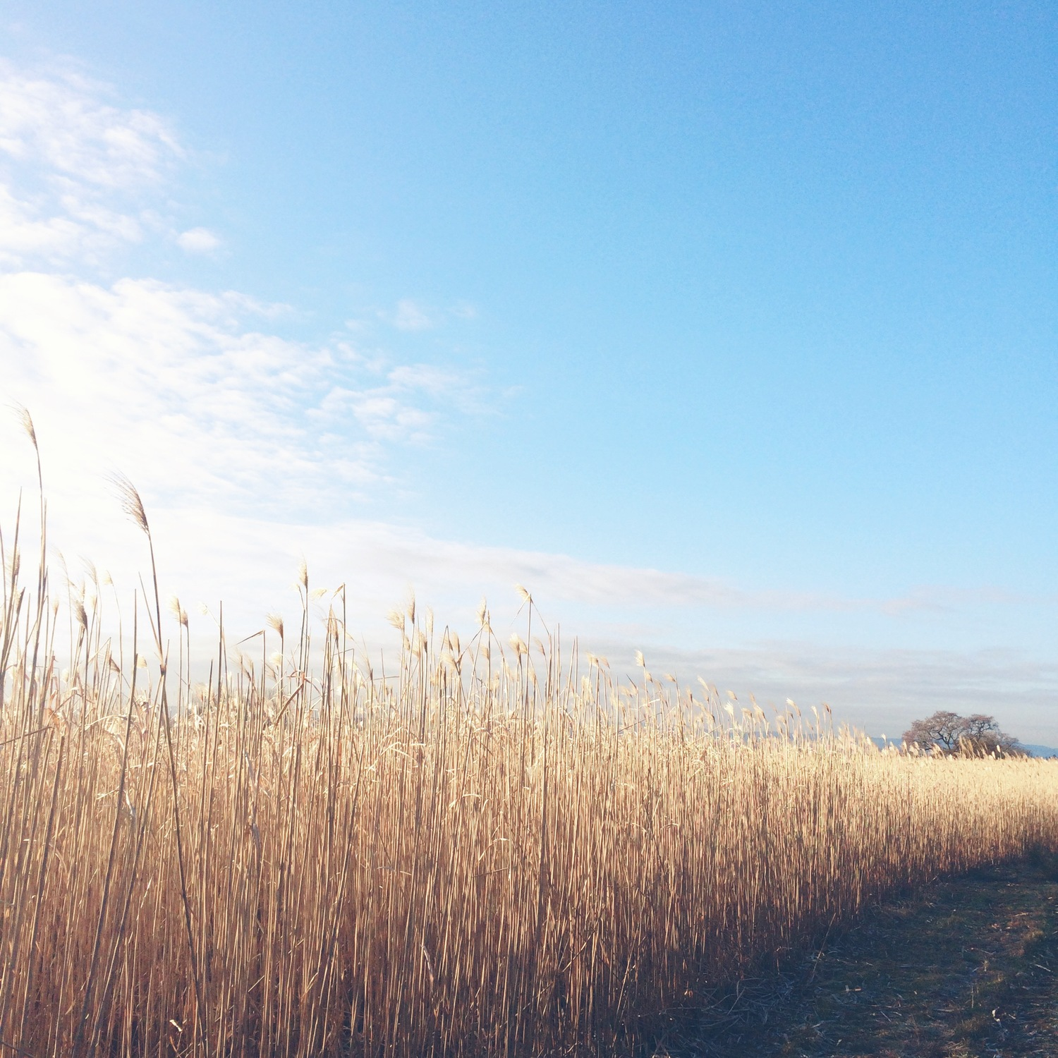Nature Seekers - Miscanthus