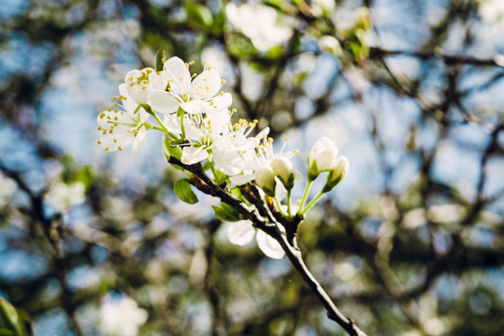 Damsen Blossom