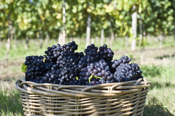 Harvesting the Pinot Noir.