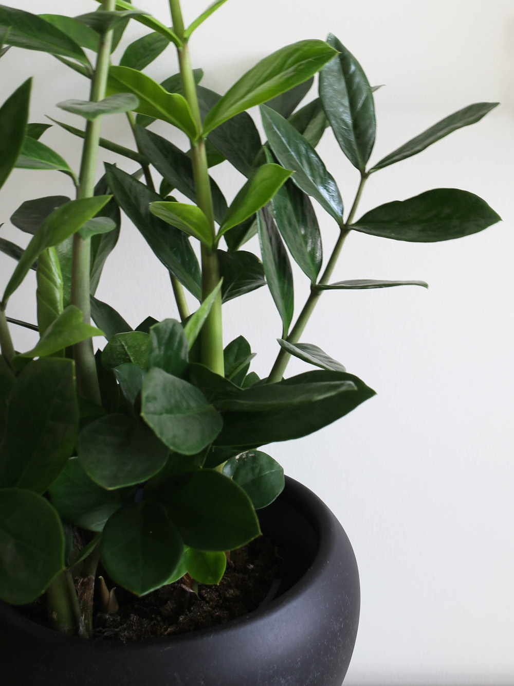 Decorating with plants zamioculcas design hunter for Plante zamioculcas