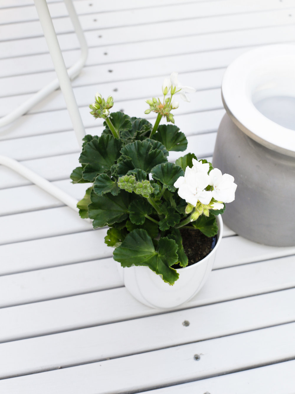 White Geranium | Design Hunter