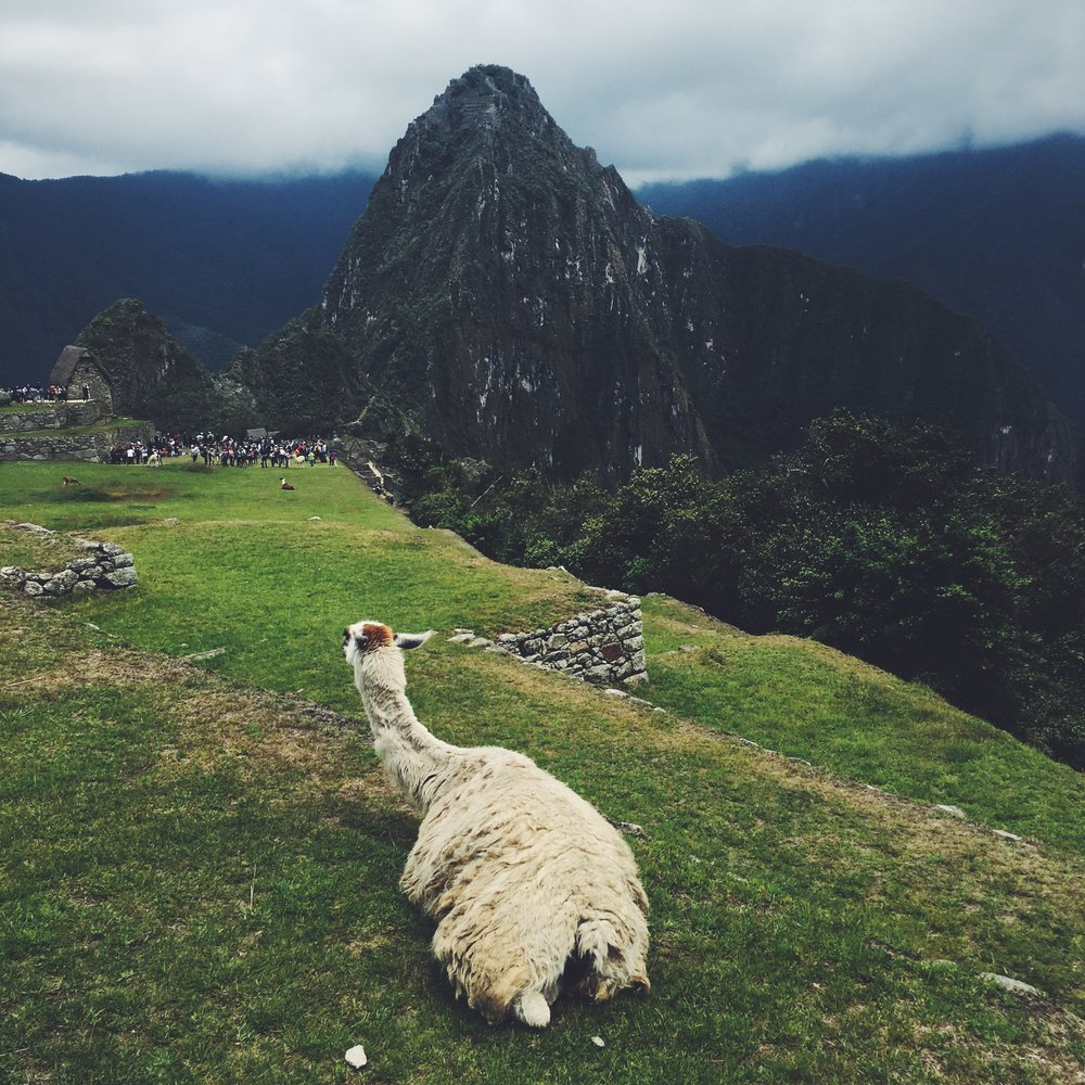Alpaca chilling in the ruins of Machu Picchu