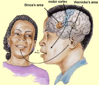 The appreciation of music requires many of the same brain regions that are involved in the processing of language. These multipurpose regions include  Broca's and Wernicke's areas