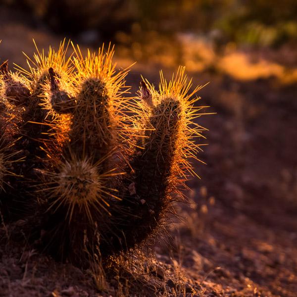 adage_SW_cactus
