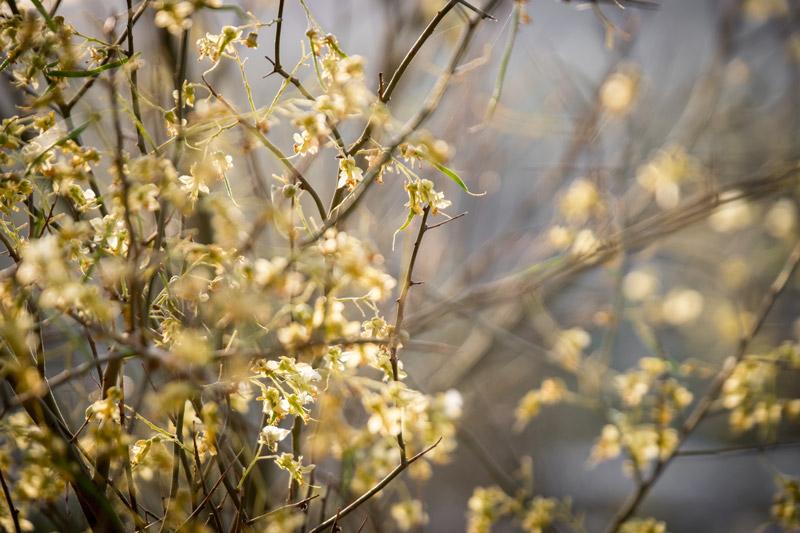 adage_desertflower2