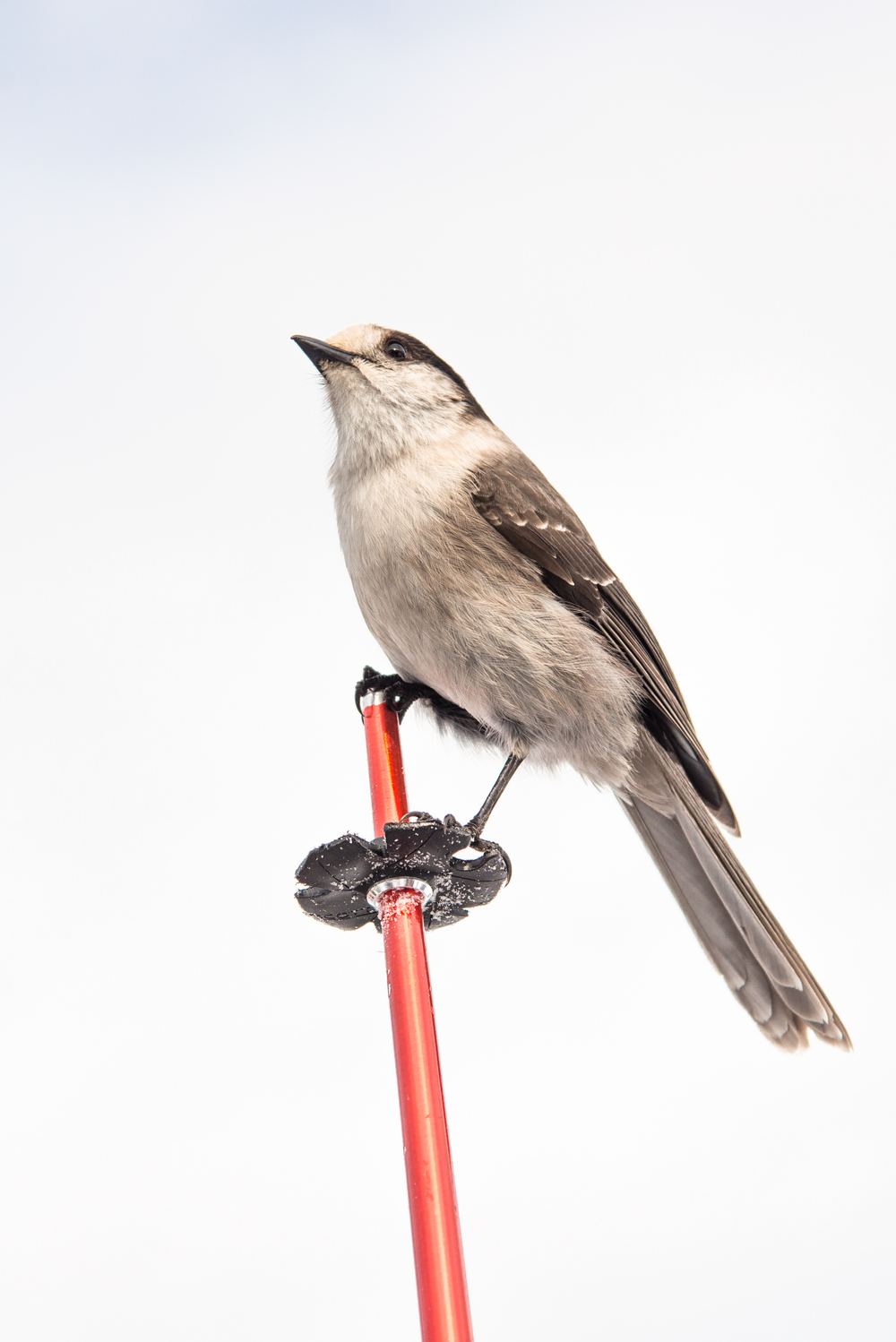 bird on a ski pole.jpg