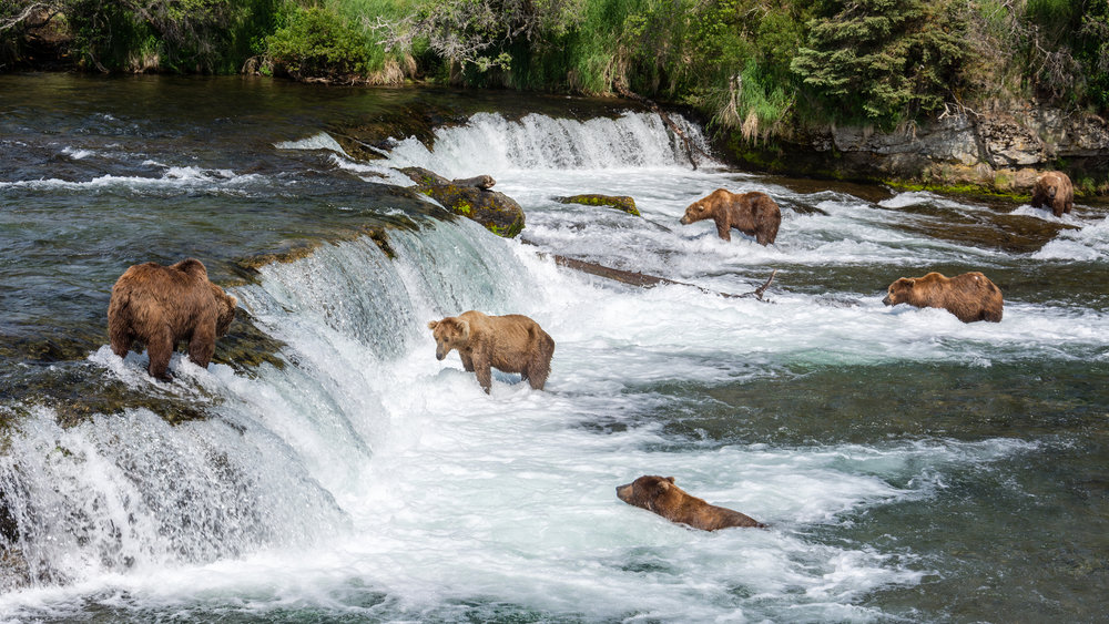 Brown bears fish for salmon in Brooks Falls in Katmai National Park