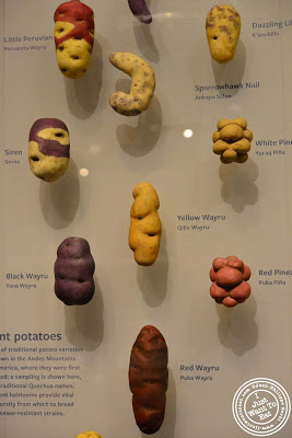 Image of Various sorts of potatoes at the Museum of Natural History in NYC, New York - Global Kitchen exhibit