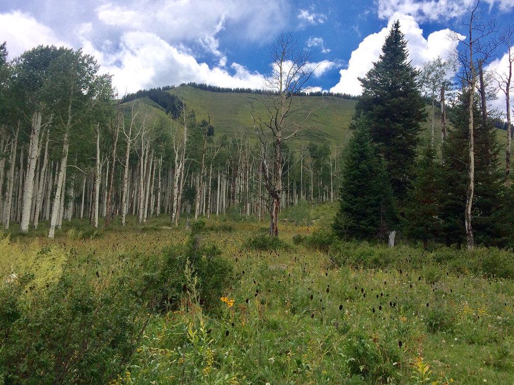 Aspen meadow.jpg
