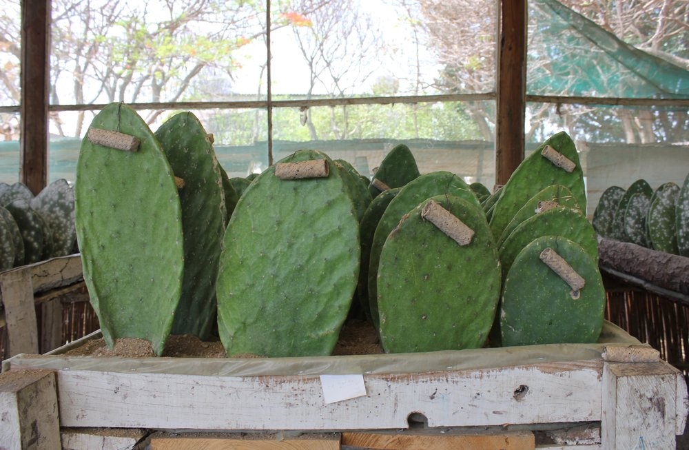 Incubation baskets hang from uninfested cactus paddles