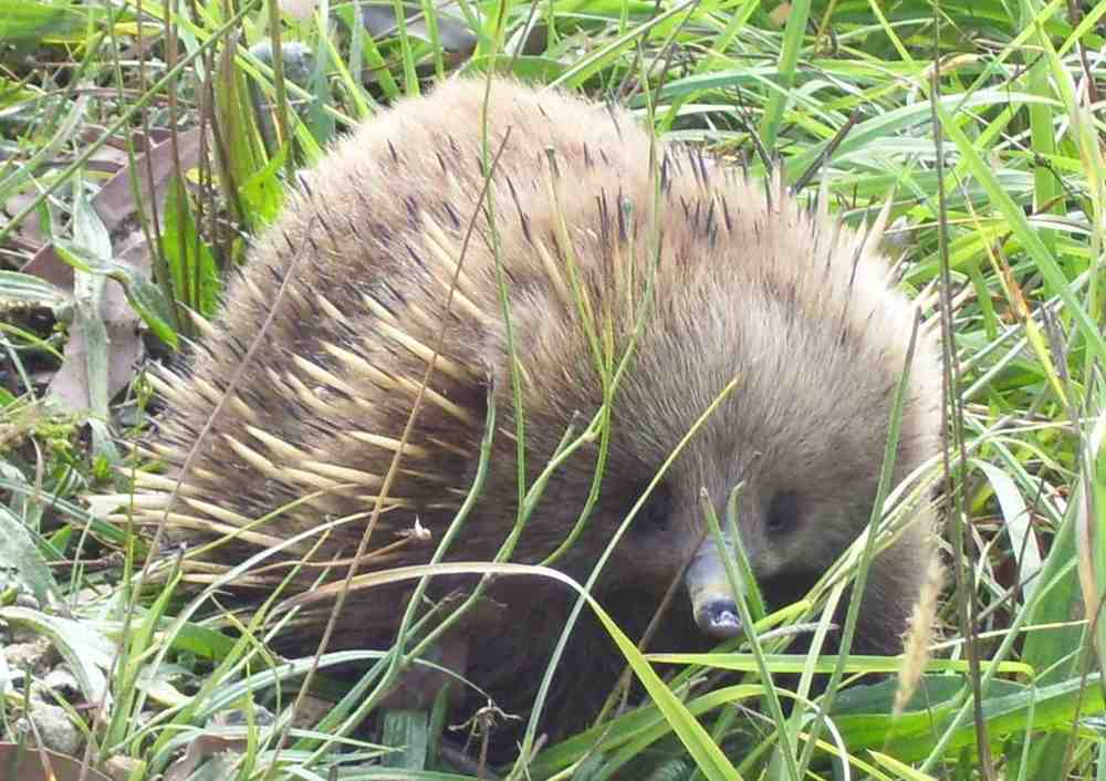 ECHIDNA                 On Bruny Island