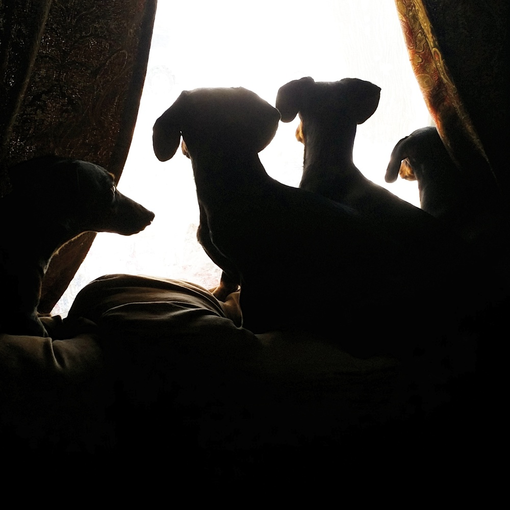 Our dachshunds