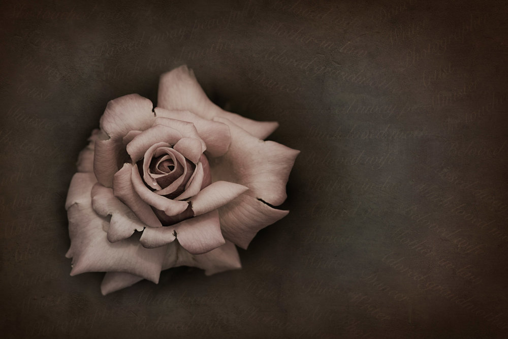 HELEN TRENERRY Photographer - Mother's Rose