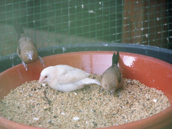 Deze Ino Japanse meeuw en koppeltje Zilverbekjes genieten van hun maaltijd. Ze scharrelen lustig in de schaal. Leuk om ze zo bezig te zien.