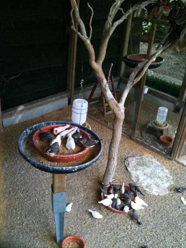 Mijn Zebravinken zitten meestal het hele jaar door in kleinere luchtje in het tuinhuis. Soms liet ik ze echter in de zomermaanden even in de volière. Een plezier voor het oog!