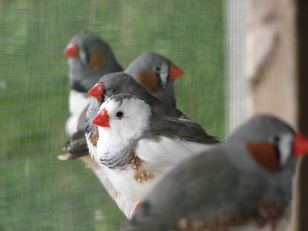 Ik blijf erbij dat je in een ruime volière de mooiste foto's kan maken van je vogels. Je hebt zoveel perspectieven die mogelijk zijn. Wat vind je van dit rijtje Zebravinken?