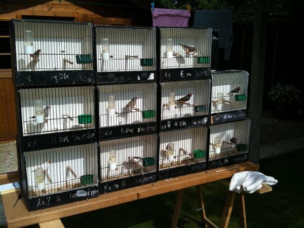 In augustus neem ik altijd even de tijd om de vogels die in aanmerking komen voor de tentoonstelling, in te delen. Ga ik ze laten spelen in stam of als enkeling? Al snel weet ik ook welke vogels het best zullen presteren.