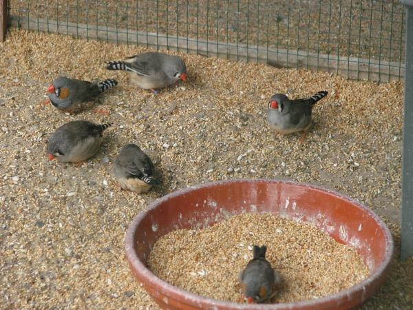 Als je ze zo ziet, zijn het net scharrelende kipjes. Wie dacht dat vogels alleen maar willen rondvliegen, heeft het mis.