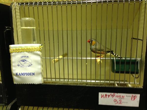 Kampioen! Grijze man van mezelf die 2 of 3 jaar geleden kampioen was op de vogeltentoonstelling van De Witte Valk Opwijk.
