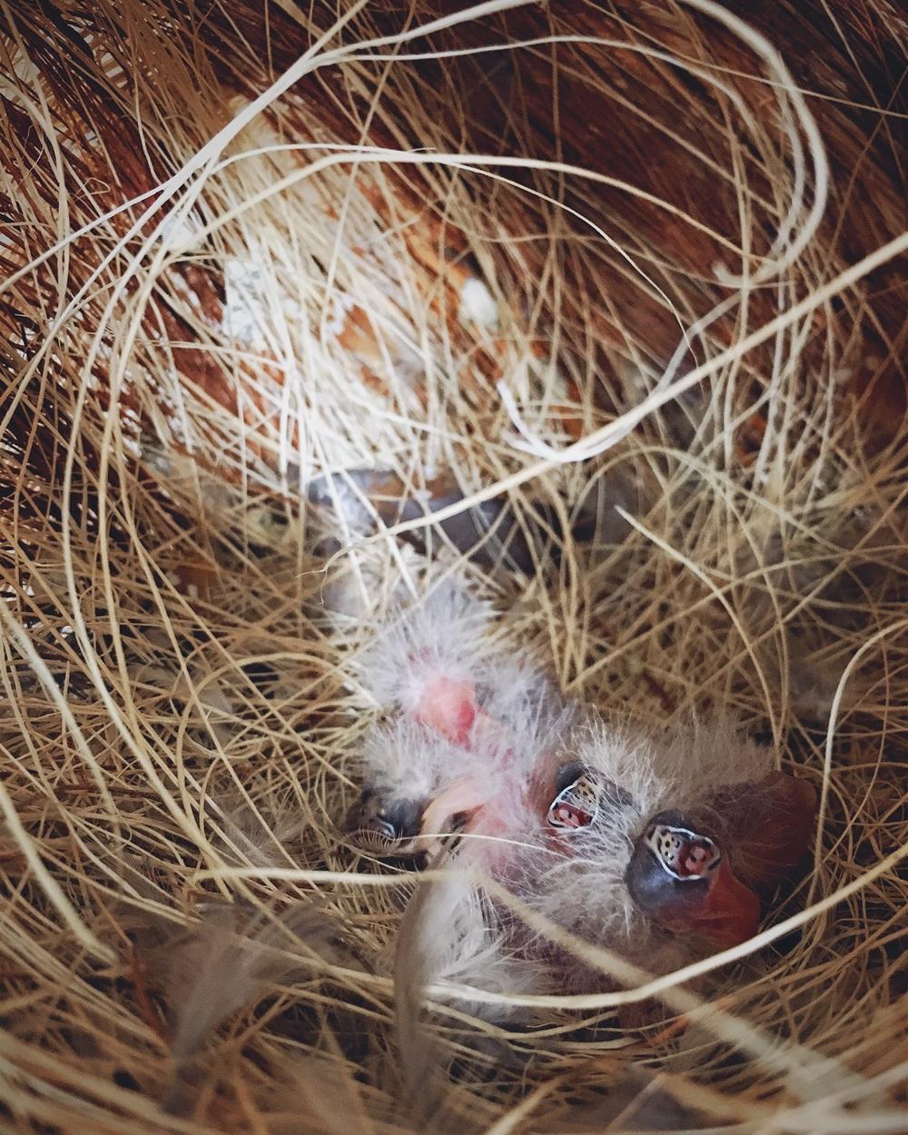 Deze pasgeboren Zebravinkjes bedelen om eten. Ik kon snel een foto nemen voor ik het nestje terughing en de ouders ze gingen voederen.