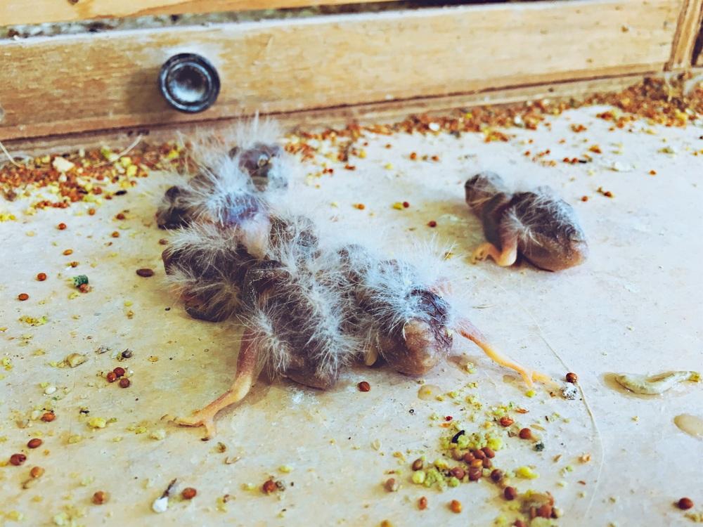 Deze jonge Zebravinkjes waten even in de war toen ik ze uit hun nest haalde. Vliegen kunnen ze nog niet. Spartelen daarentegen… als de beste :).