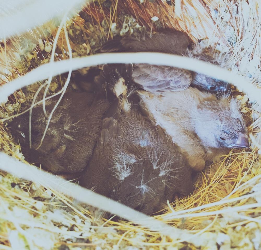 Deze jonge Zebravinken zijn klaar om uit te vliegen. Gouden tip: hand voor opening nestkastje houden anders zijn ze weg.