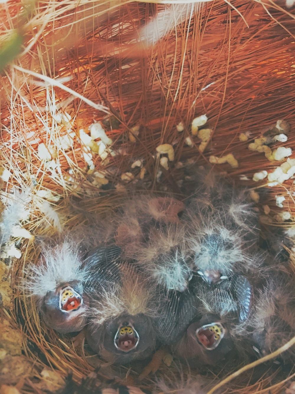 Eten, altijd maar eten. Deze jongen aanzien de camera als oudervogels en bedelen voor voedsel. Snel nestje terughangen zodat de ouders kunnen voederen.