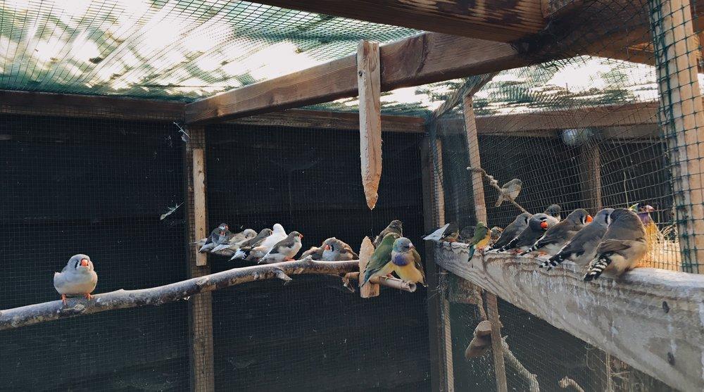 Deze Zebravink poppen en Gouldamadines kunnen rustig uitruien in de buitenvolière.