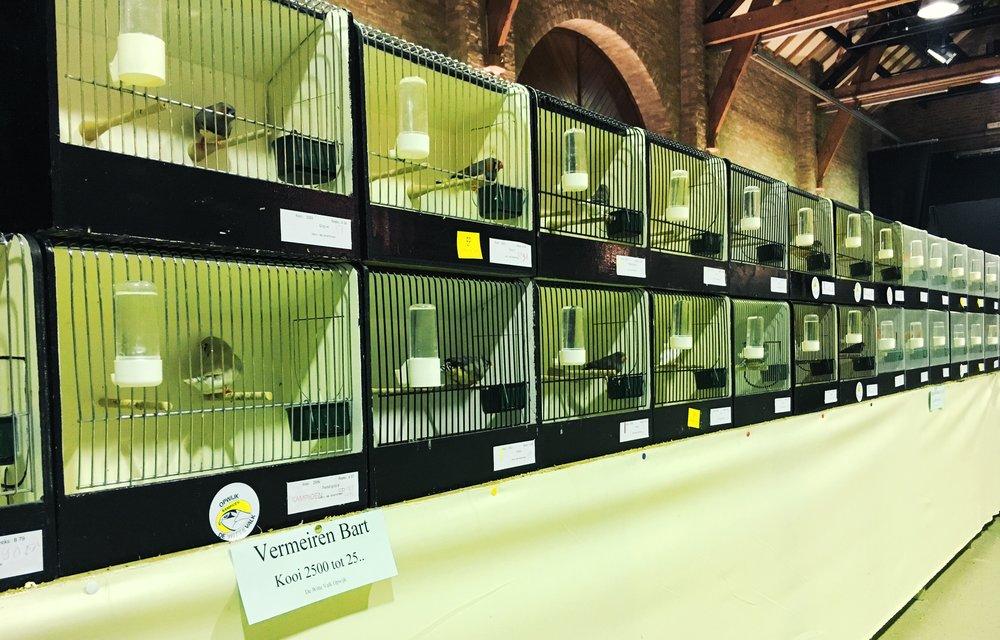Enkele van mijn Zebravinken op de vogeltentoonstelling van De Witte Valk Opwijk.