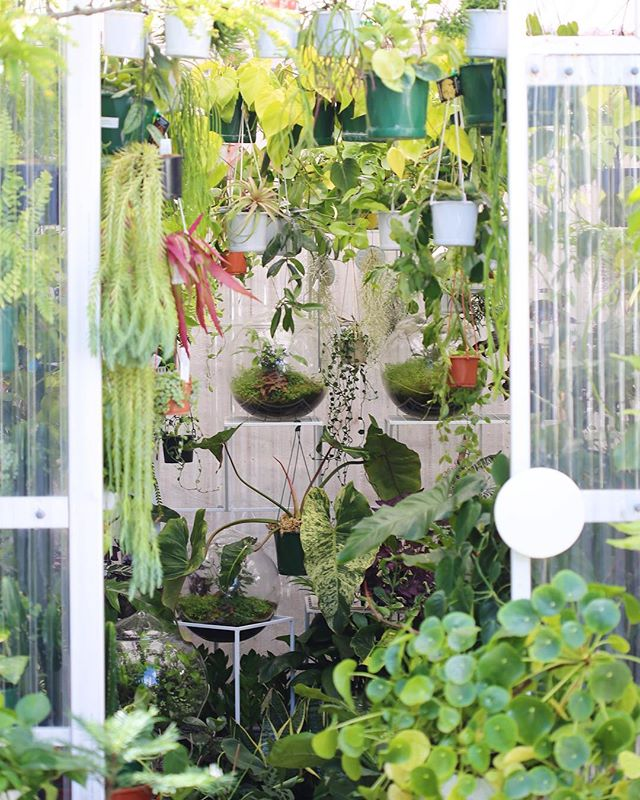 Market Weekends ⌓⌇◡◦ Our lovely little greenhouse store is very much a living, breathing jungle oasis this week. Every available spot currently has a plant living it's best life, ready to head to its forever home! More varieties than we can hope to share online at the moment - keep an eye on our stories for more, or better yet, visit us between 10 - 5 this weekend. See you all very soon!✌🏻🌿✨⌇◯⌢◦