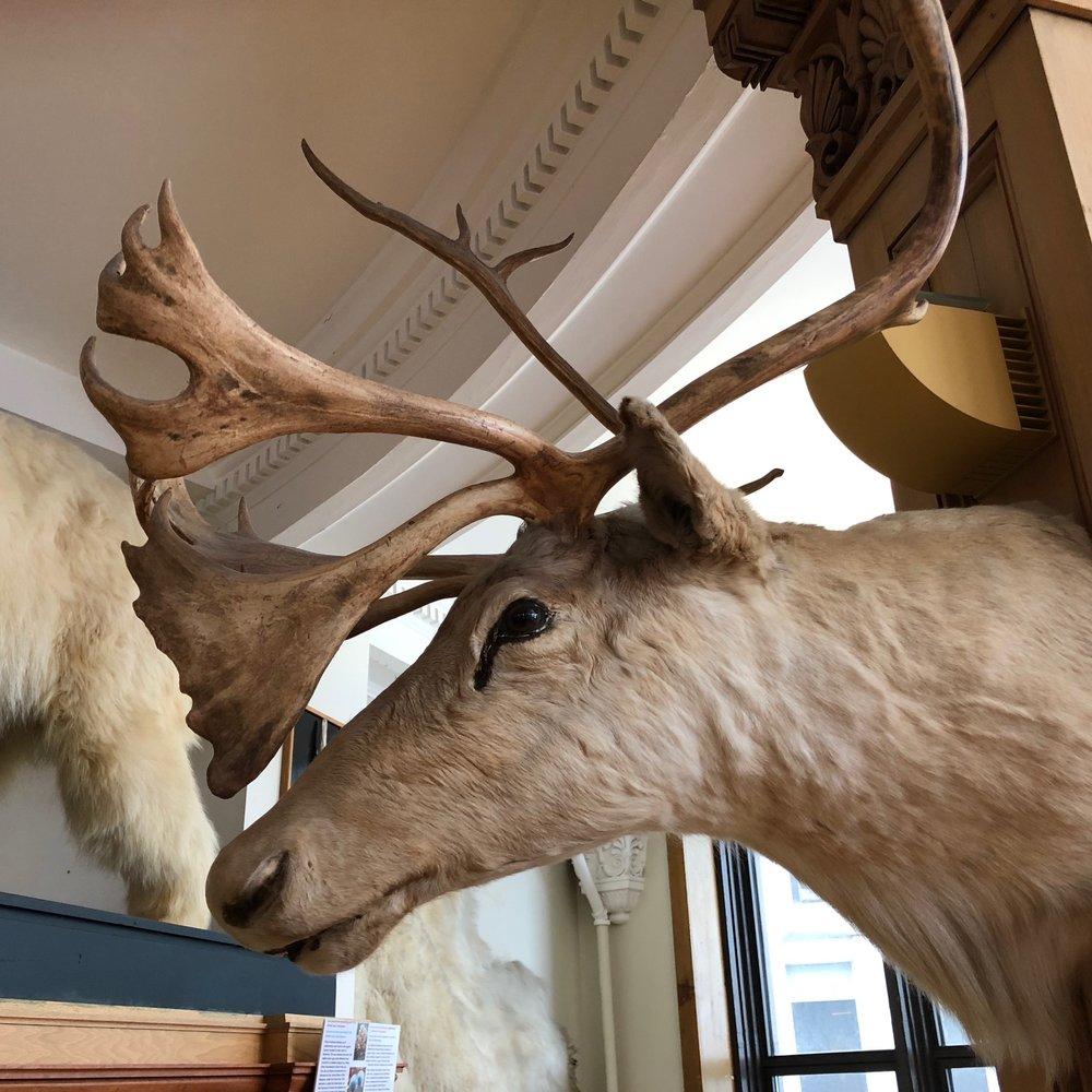 reindeer redpath gallery.jpg