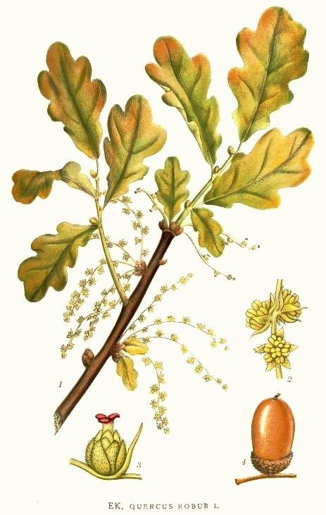 Quercus rober, from   Bilder ur Nordens Flora» Stockholm