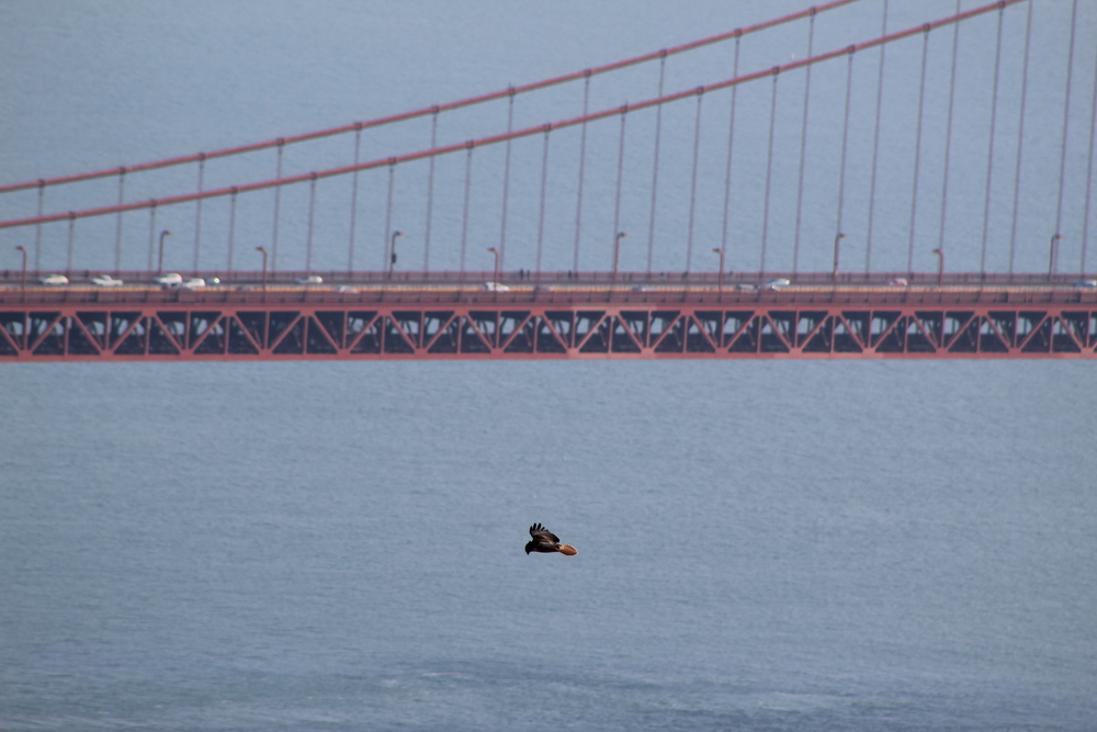 An adult Red-tailed Hawk hovers in front of the Golden Gate Bridge during the peak of migration.