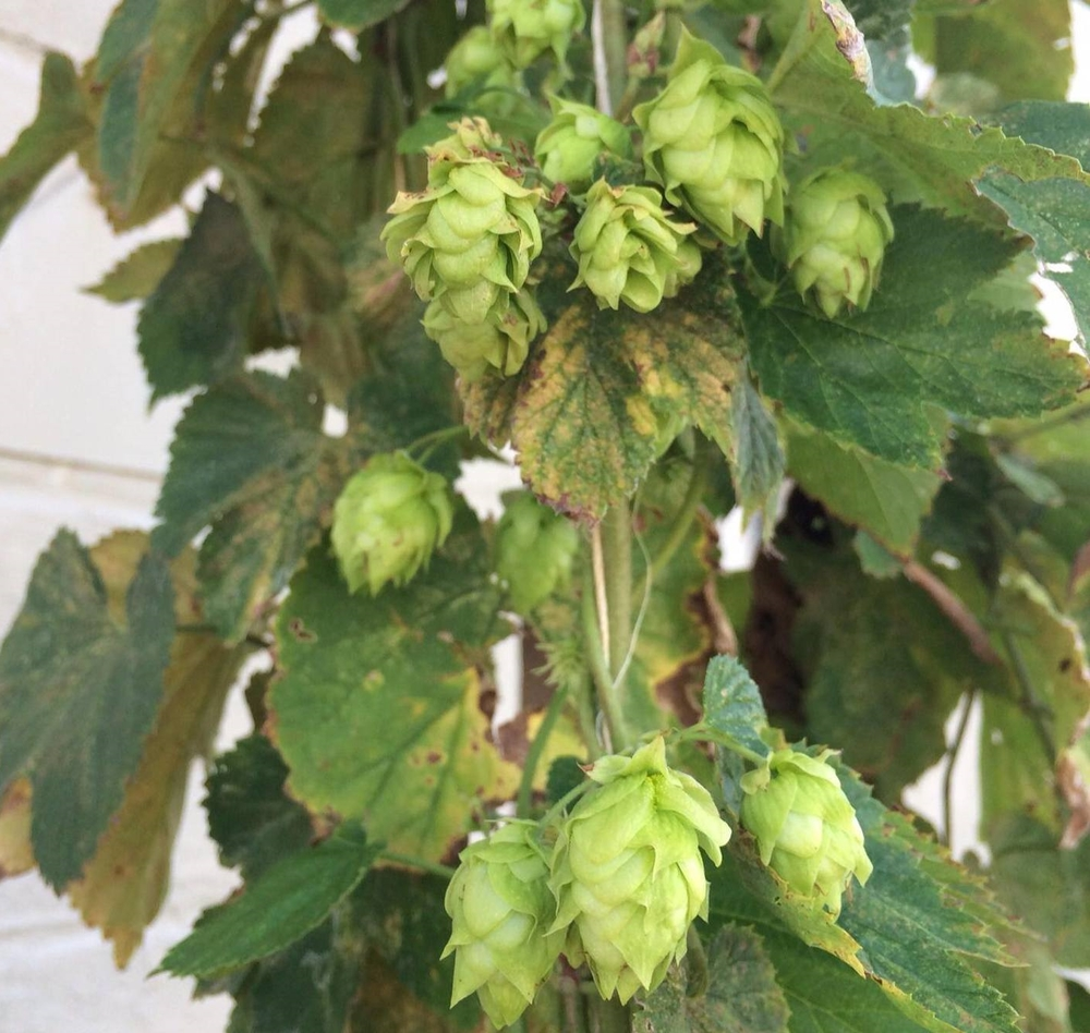 Hops. Need we say more.