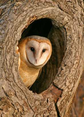owl-in-tree-hole.JPG