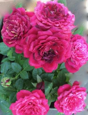 Naistenpäivä ruusut.jpg