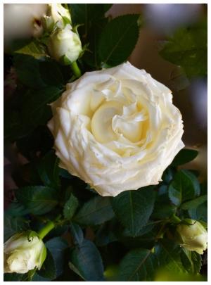 Ruusu2.jpg