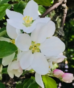 Omenapuu2.jpg